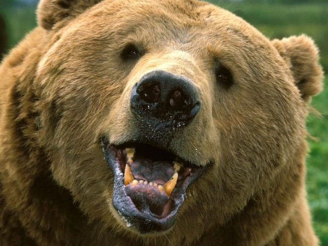 A bear has 42 teeth