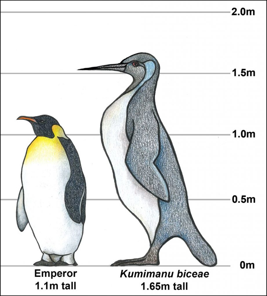 Penguins were big as Human