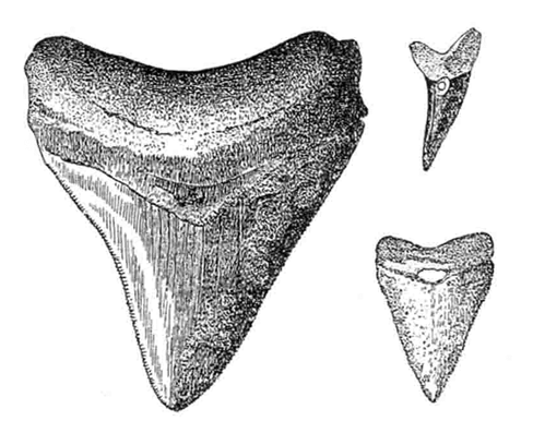 fossil-shark-teeth use by our ancester